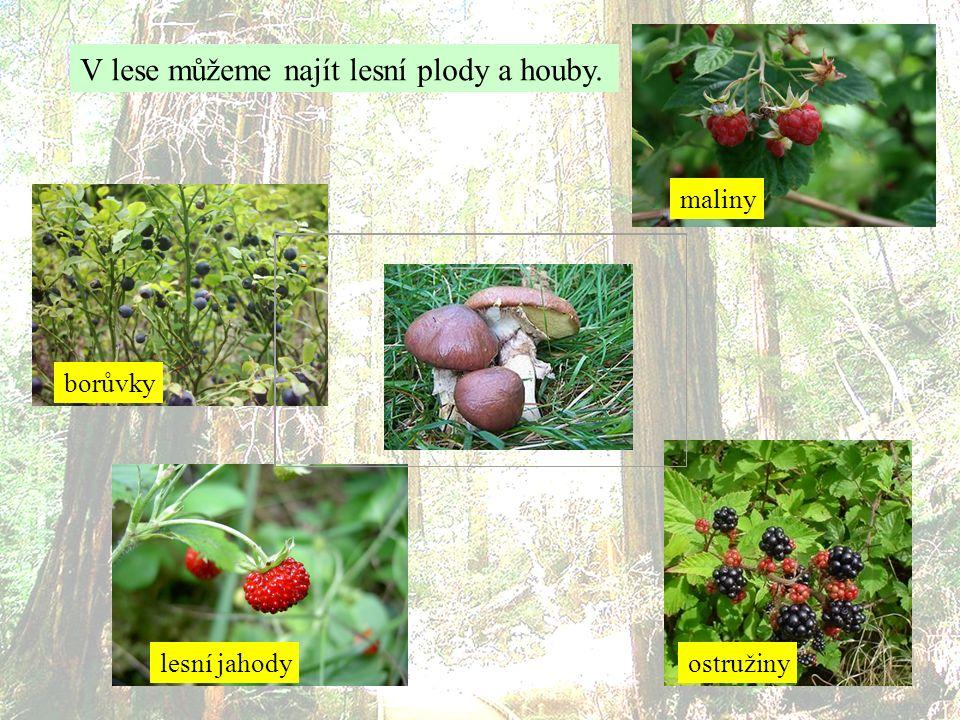V lese můžeme najít lesní plody a houby. borůvky lesní jahody maliny ostružiny
