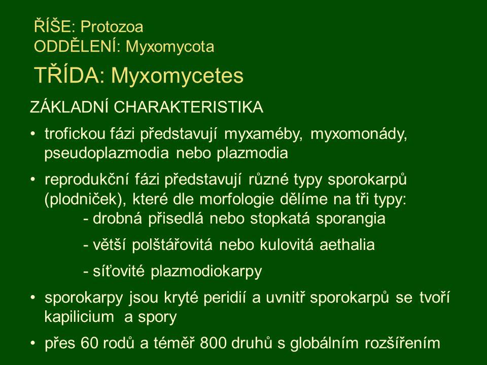 ŘÍŠE: Protozoa ODDĚLENÍ: Myxomycota TŘÍDA: Myxomycetes ZÁKLADNÍ CHARAKTERISTIKA trofickou fázi představují myxaméby, myxomonády, pseudoplazmodia nebo plazmodia reprodukční fázi představují různé typy sporokarpů (plodniček), které dle morfologie dělíme na tři typy: - drobná přisedlá nebo stopkatá sporangia - větší polštářovitá nebo kulovitá aethalia - síťovité plazmodiokarpy sporokarpy jsou kryté peridií a uvnitř sporokarpů se tvoří kapilicium a spory přes 60 rodů a téměř 800 druhů s globálním rozšířením