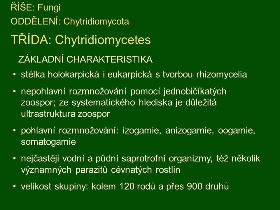 ŘÍŠE: Fungi ODDĚLENÍ: Chytridiomycota TŘÍDA: Chytridiomycetes ZÁKLADNÍ CHARAKTERISTIKA stélka holokarpická i eukarpická s tvorbou rhizomycelia nepohlavní rozmnožování pomocí jednobičíkatých zoospor; ze systematického hlediska je důležitá ultrastruktura zoospor pohlavní rozmnožování: izogamie, anizogamie, oogamie, somatogamie nejčastěji vodní a půdní saprotrofní organizmy, též několik významných parazitů cévnatých rostlin velikost skupiny: kolem 120 rodů a přes 900 druhů