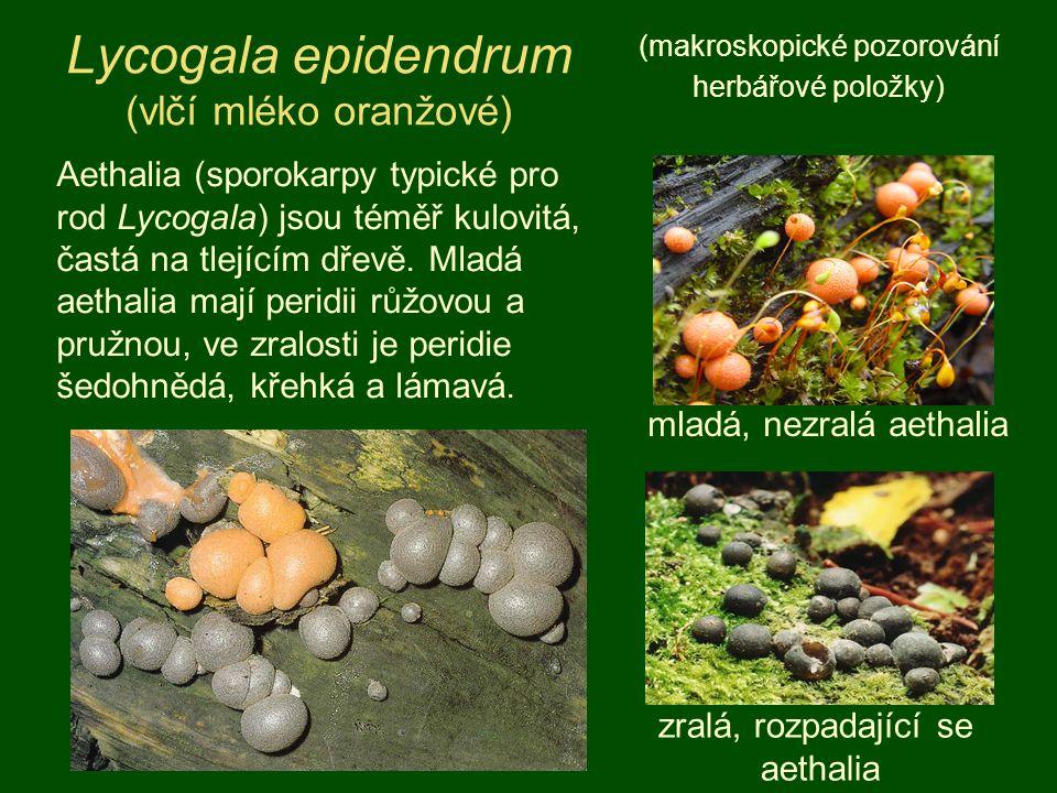 Lycogala epidendrum (vlčí mléko oranžové) (makroskopické pozorování herbářové položky) Aethalia (sporokarpy typické pro rod Lycogala) jsou téměř kulovitá, častá na tlejícím dřevě.