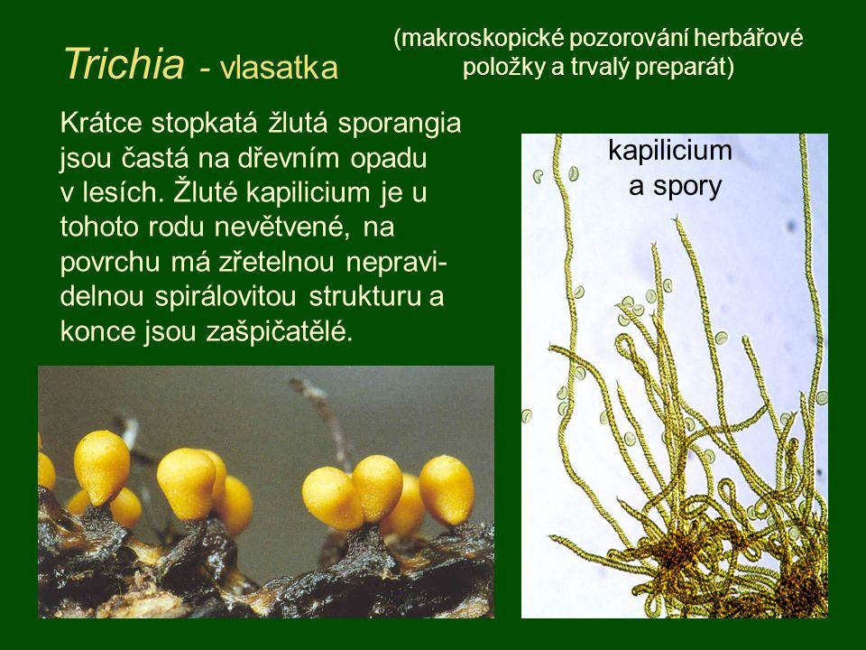 Sporangiální hlenka, jejíž stopkatá válcovitá, až 2 cm dlouhá sporangia vyrůstají většinou nahloučena v těsném svazečku.