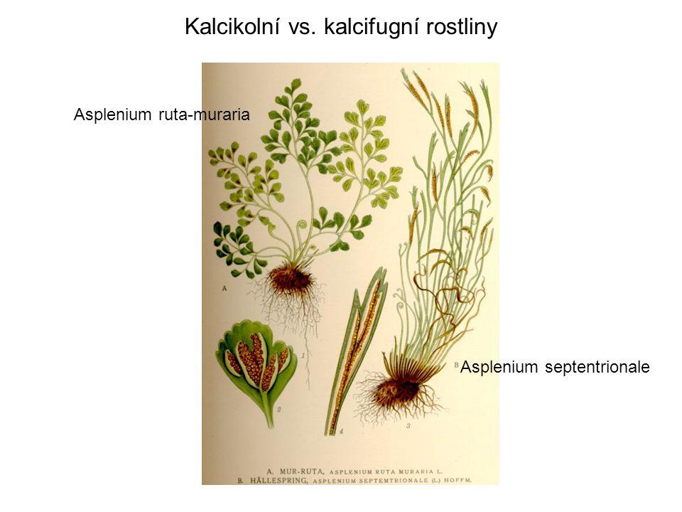 Asplenium ruta-muraria Asplenium septentrionale
