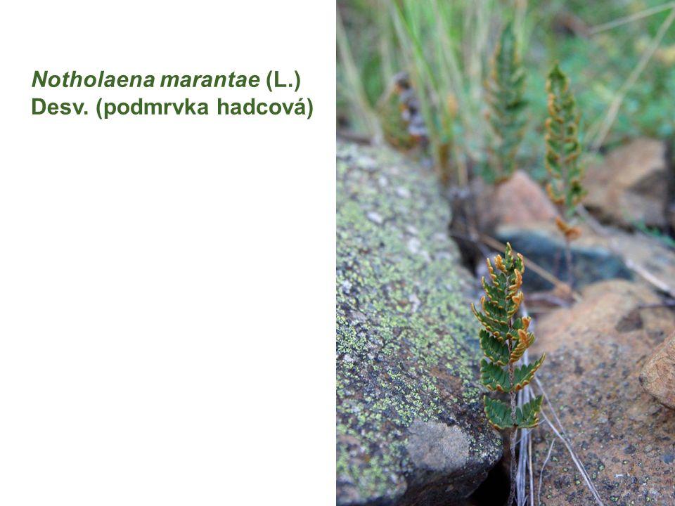 Notholaena marantae (L.) Desv. (podmrvka hadcová)
