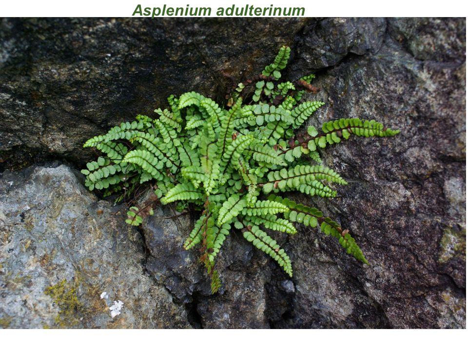 Asplenium adulterinum