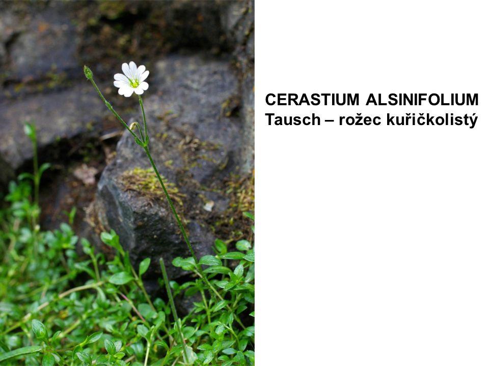 CERASTIUM ALSINIFOLIUM Tausch – rožec kuřičkolistý