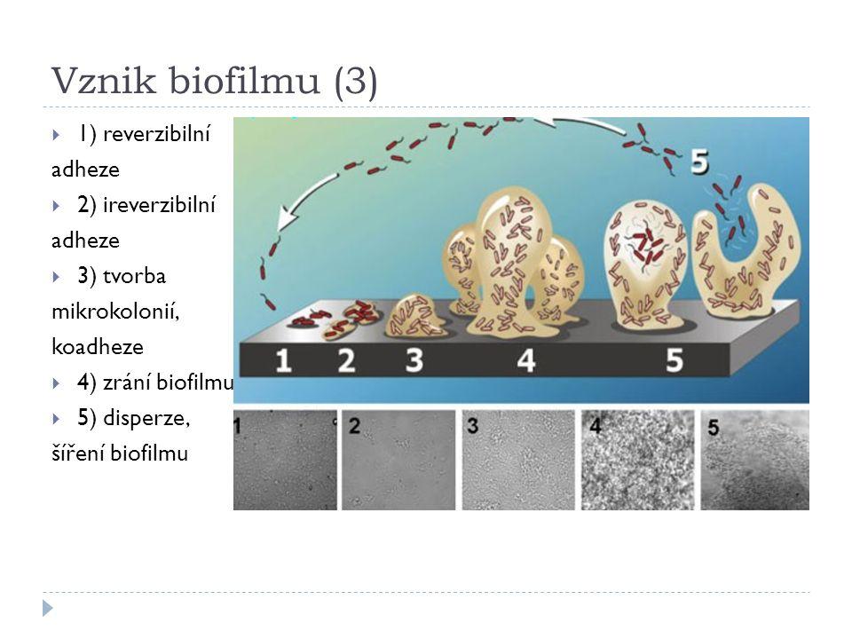 Vznik biofilmu (3)  1) reverzibilní adheze  2) ireverzibilní adheze  3) tvorba mikrokolonií, koadheze  4) zrání biofilmu  5) disperze, šíření bio