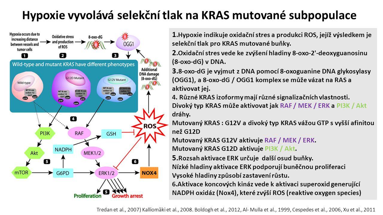 Hypoxie vyvolává selekční tlak na KRAS mutované subpopulace 1.Hypoxie indikuje oxidační stres a produkci ROS, jejíž výsledkem je selekční tlak pro KRAS mutované buňky.