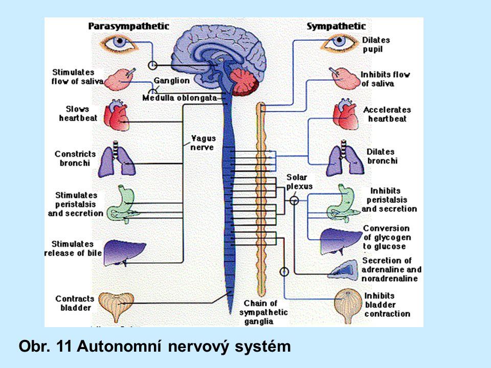 Obr. 11 Autonomní nervový systém