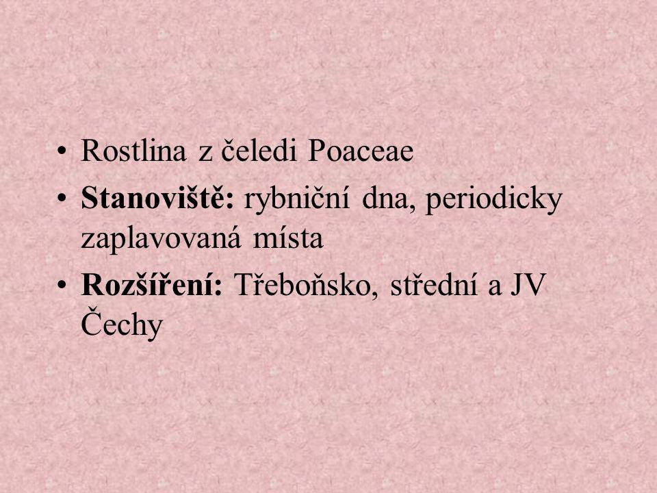Rostlina z čeledi Poaceae Stanoviště: rybniční dna, periodicky zaplavovaná místa Rozšíření: Třeboňsko, střední a JV Čechy