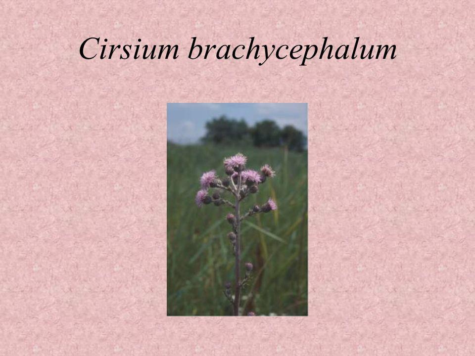 Cirsium brachycephalum