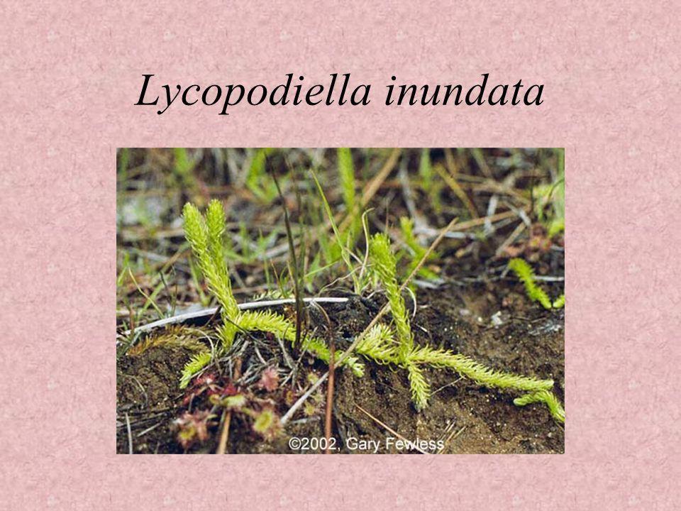 Lycopodiella inundata