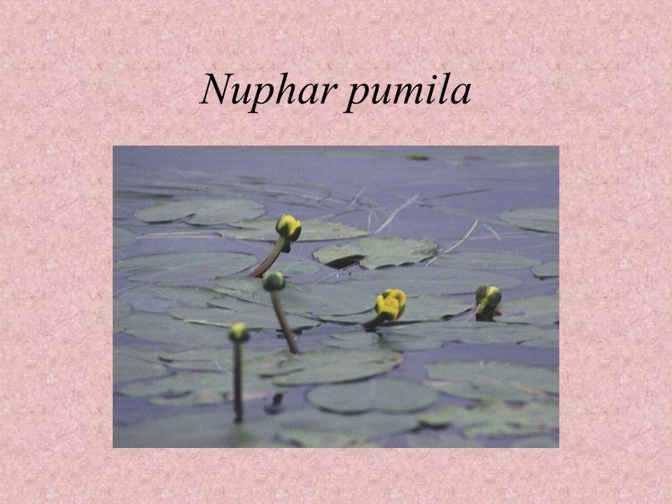 Nuphar pumila