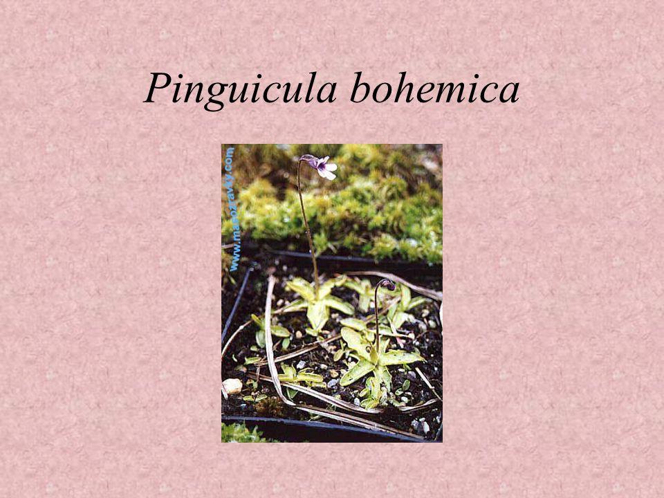 Pinguicula bohemica