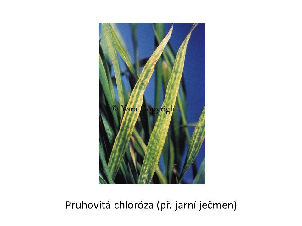 Pruhovitá chloróza (př. jarní ječmen)
