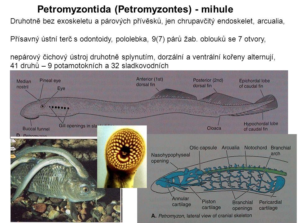 Petromyzontida (Petromyzontes) - mihule Druhotně bez exoskeletu a párových přívěsků, jen chrupavčitý endoskelet, arcualia, Přísavný ústní terč s odontoidy, pololebka, 9(7) párů žab.