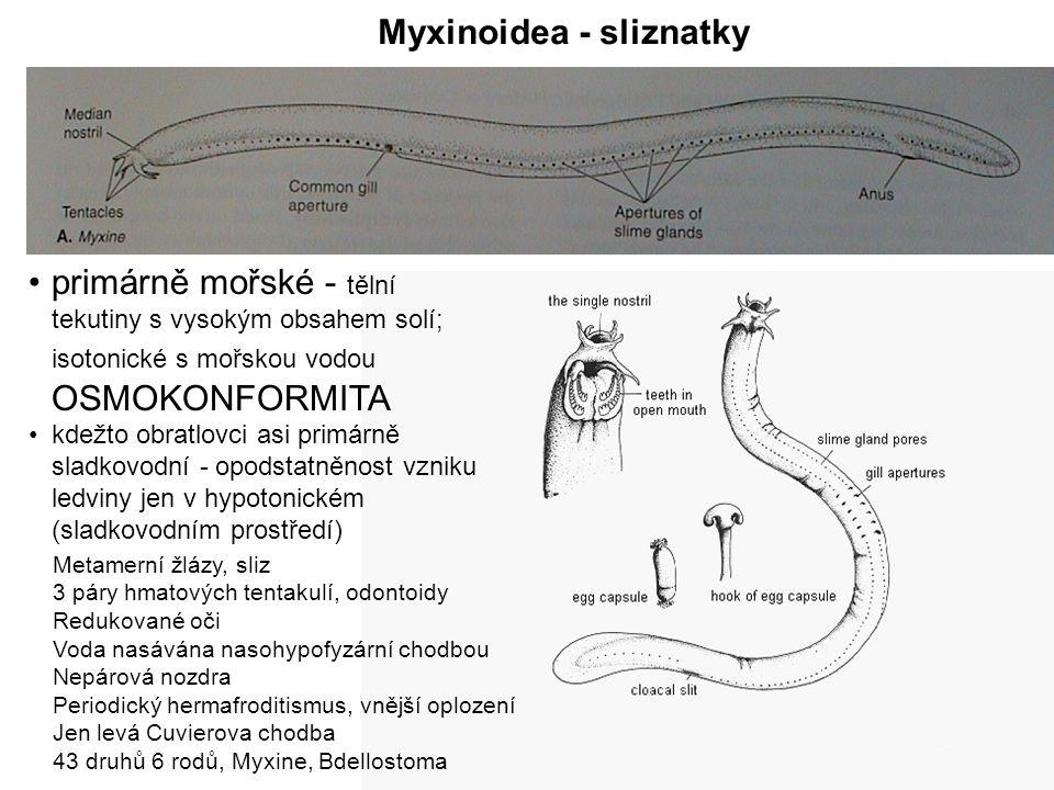 Myxinoidea - sliznatky Metamerní žlázy, sliz 3 páry hmatových tentakulí, odontoidy Redukované oči Voda nasávána nasohypofyzární chodbou Nepárová nozdra Periodický hermafroditismus, vnější oplození Jen levá Cuvierova chodba 43 druhů 6 rodů, Myxine, Bdellostoma primárně mořské - tělní tekutiny s vysokým obsahem solí; isotonické s mořskou vodou OSMOKONFORMITA kdežto obratlovci asi primárně sladkovodní - opodstatněnost vzniku ledviny jen v hypotonickém (sladkovodním prostředí)