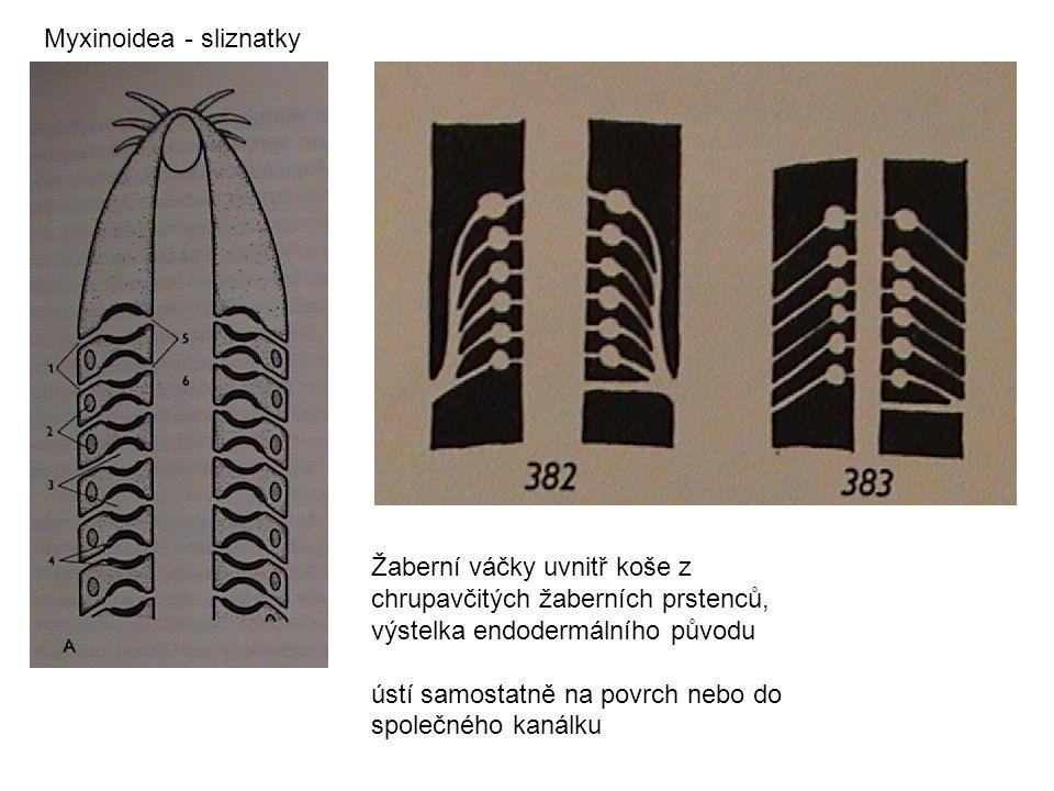 Myxinoidea - sliznatky Žaberní váčky uvnitř koše z chrupavčitých žaberních prstenců, výstelka endodermálního původu ústí samostatně na povrch nebo do společného kanálku