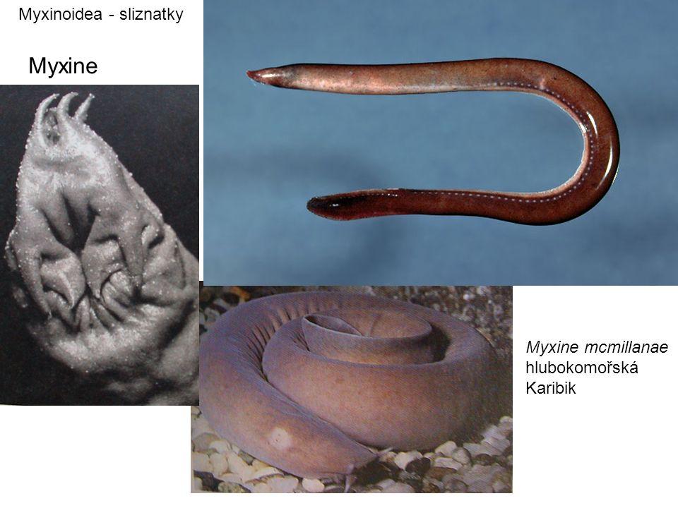 Myxinoidea - sliznatky Myxine Myxine mcmillanae hlubokomořská Karibik