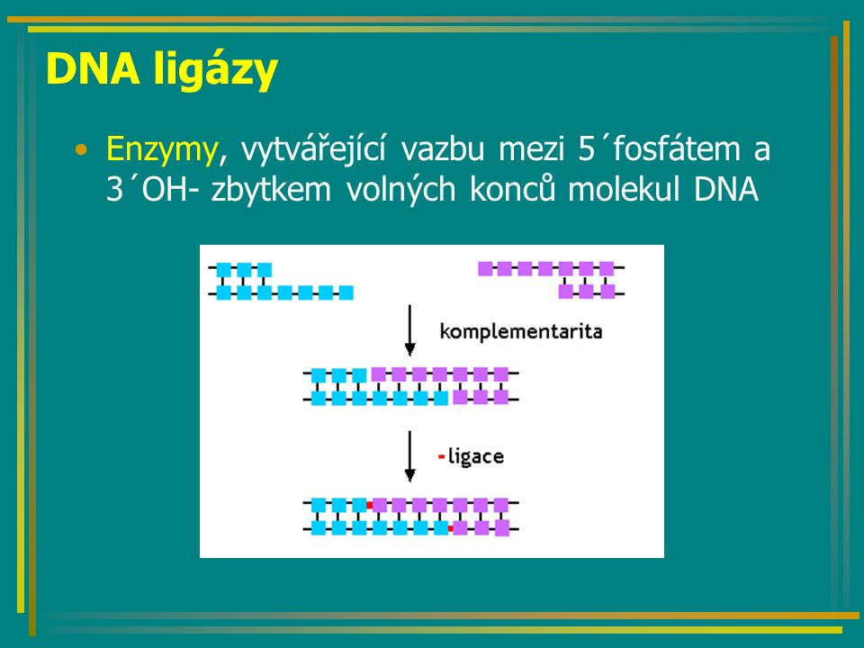 Izolace genů a jejich klonování Vyhledání potenciálního dárce vhodného genu (bakterie, houba, rostlina, živočich) Tvorba genomové knihovny –Restrikční štěpení genomové DNA dárce –Klonování fragmentů DNA v plasmidech, BAC nebo YAC –Screening genů v knihovně a sekvenování Klonování nalezených genů v bakteriálních plazmidech nebo YAC Klonování krátkých fragmentů pomocí PCR