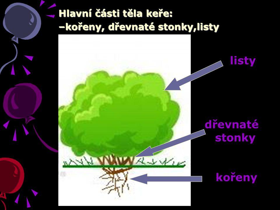 Hlavní části těla keře: –kořeny, dřevnaté stonky,listy listy dřevnaté stonky kořeny