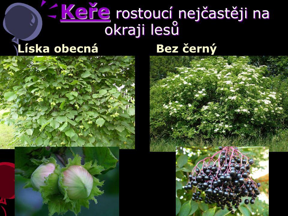 Keře rostoucí nejčastěji na okraji lesů Keře rostoucí nejčastěji na okraji lesů Líska obecnáBez černý