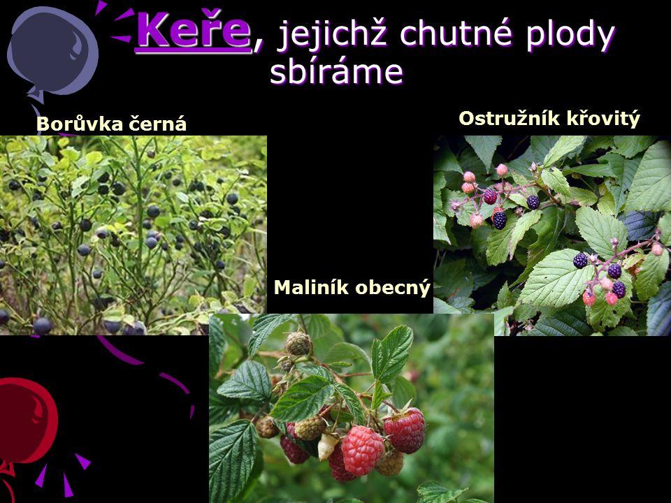 Keře, jejichž chutné plody sbíráme Keře, jejichž chutné plody sbíráme Borůvka černá Maliník obecný Ostružník křovitý