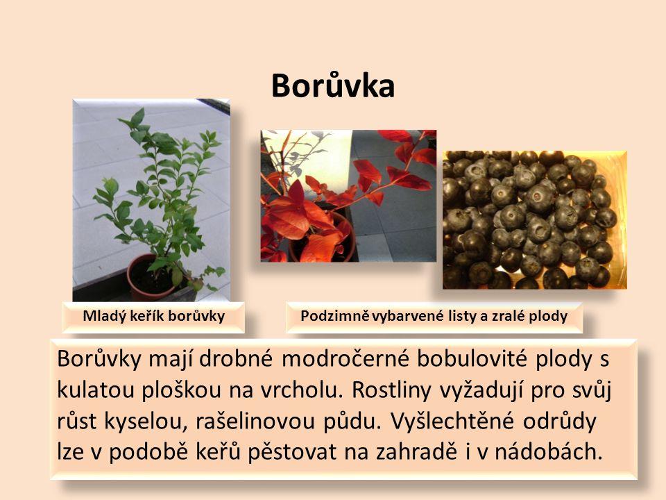 Maliník Květy maliníku Listy a zralé plody Podobně jako jahodník i maliník se původně vyskytoval pouze ve volné přírodě.
