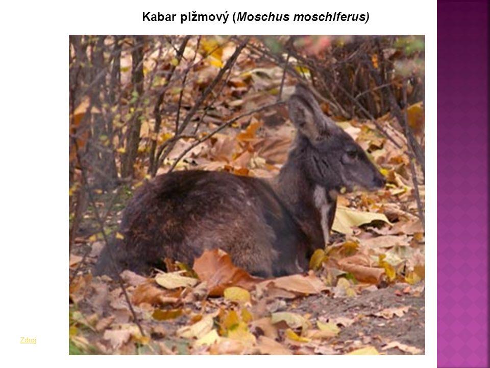 Kabar pižmový (Moschus moschiferus) Zdroj