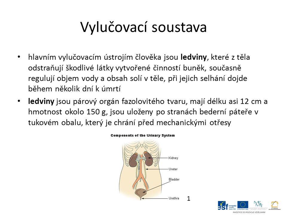 povrch ledvin tvoří světlejší kůra a pod ní se nachází tmavší dřeň s 10 – 12 pyramidovými útvary, na vrcholech ledvin ústí sběrací kanálky do ledvinných kalichů a do ledvinové pánvičky, odtud vychází z každé ledviny močovod, který vede do močového měchýře každá ledvina obsahuje více než 1 milion ledvinových tělísek (nefronů), krev je přiváděna do ledvinového tělíska přívodní tepénkou, která se uvnitř větví na klubíčko vlásečnic, tenkými stěnami vlásečnic se filtruje do ledvinového tělíska voda a odpadní látky obsažené v krevní plazmě 2
