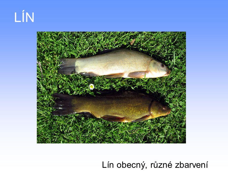 LÍN Lín obecný, různé zbarvení