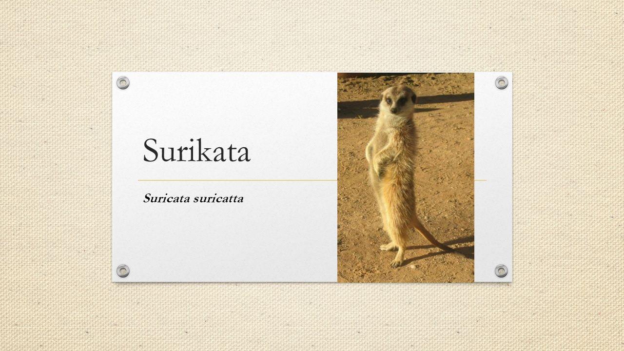 Surikata Suricata suricatta