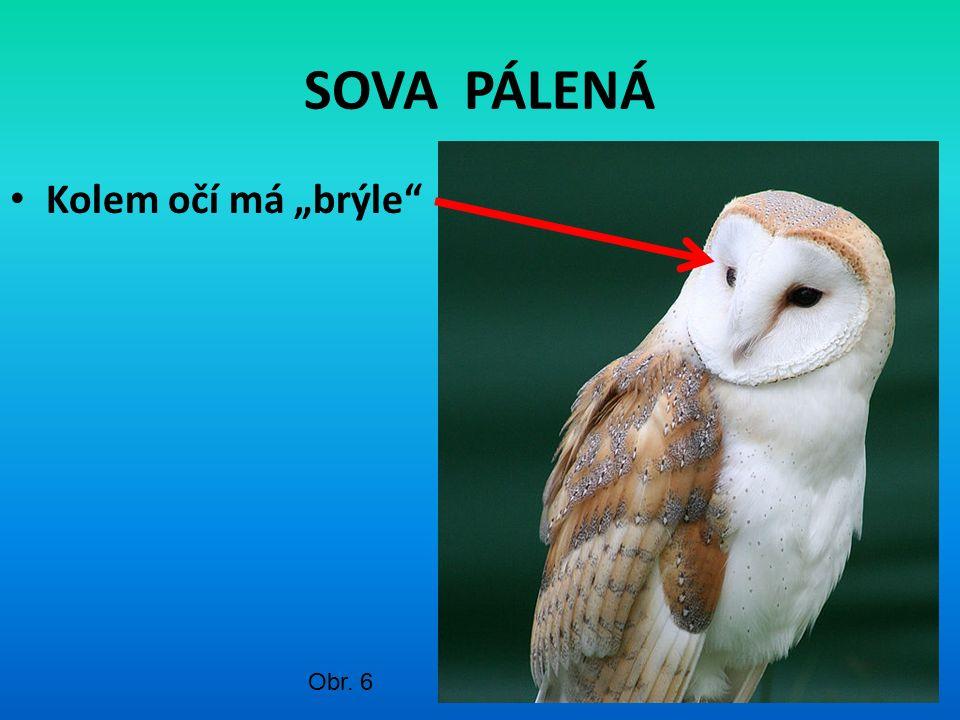 """SOVA PÁLENÁ Kolem očí má """"brýle"""" Obr. 6"""