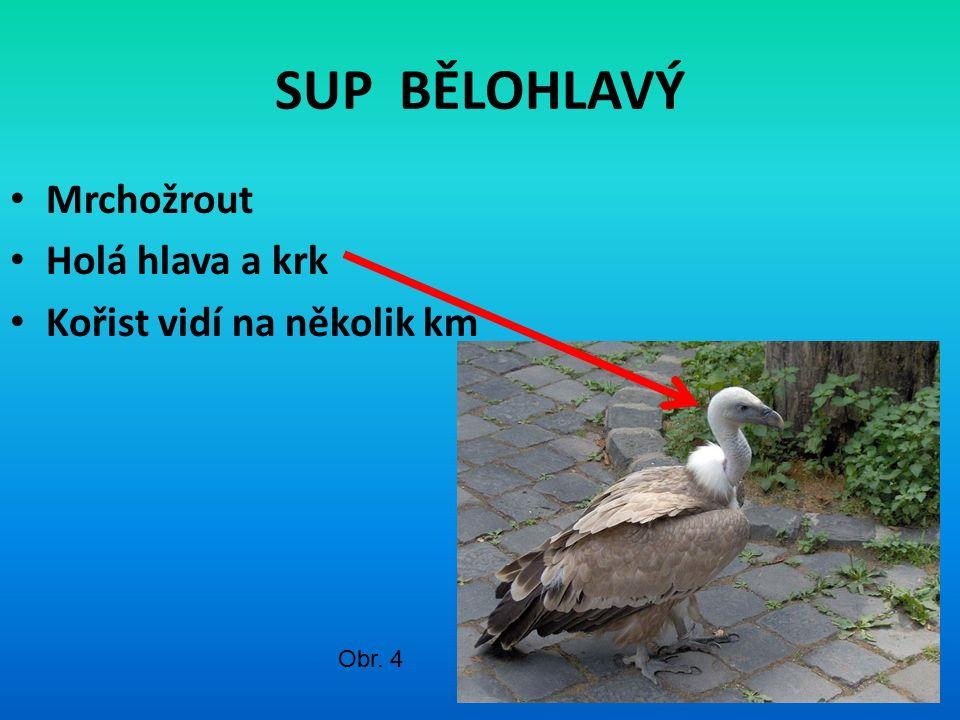 SUP BĚLOHLAVÝ Mrchožrout Holá hlava a krk Kořist vidí na několik km Obr. 4