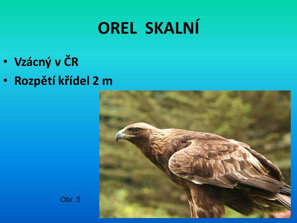 OREL SKALNÍ Vzácný v ČR Rozpětí křídel 2 m Obr. 5