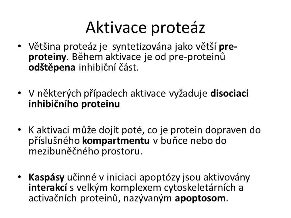 Aktivace proteáz Většina proteáz je syntetizována jako větší pre- proteiny.