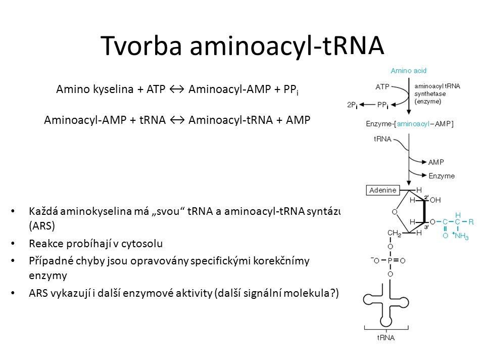 """Tvorba aminoacyl-tRNA Amino kyselina + ATP ↔ Aminoacyl-AMP + PP i Aminoacyl-AMP + tRNA ↔ Aminoacyl-tRNA + AMP Každá aminokyselina má """"svou tRNA a aminoacyl-tRNA syntázu (ARS) Reakce probíhají v cytosolu Případné chyby jsou opravovány specifickými korekčnímy enzymy ARS vykazují i další enzymové aktivity (další signální molekula )"""