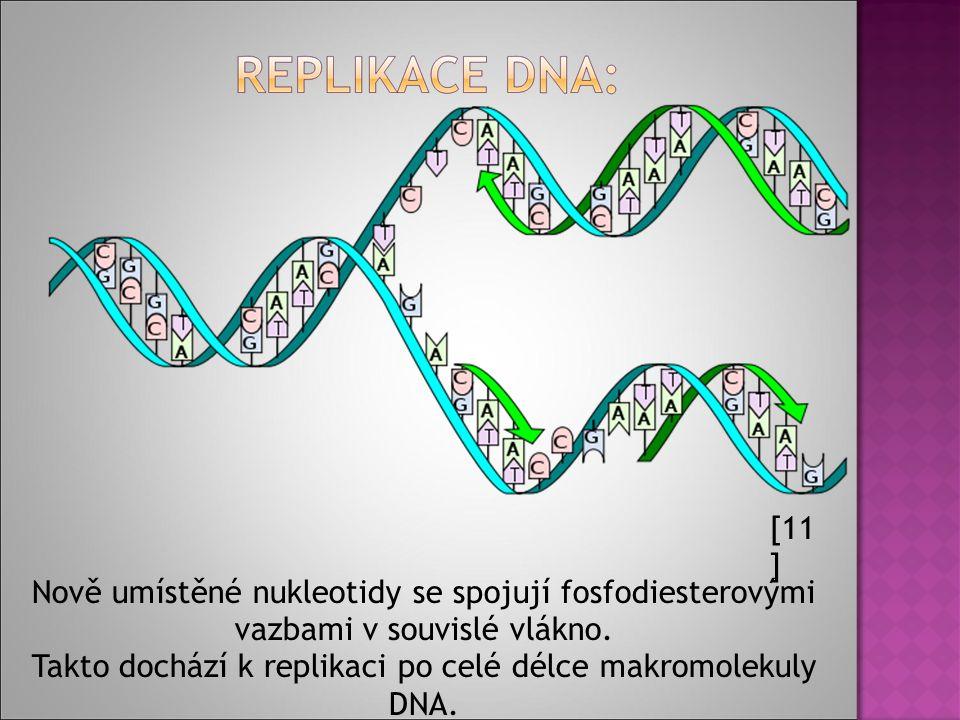 [11 ] Nově umístěné nukleotidy se spojují fosfodiesterovými vazbami v souvislé vlákno.