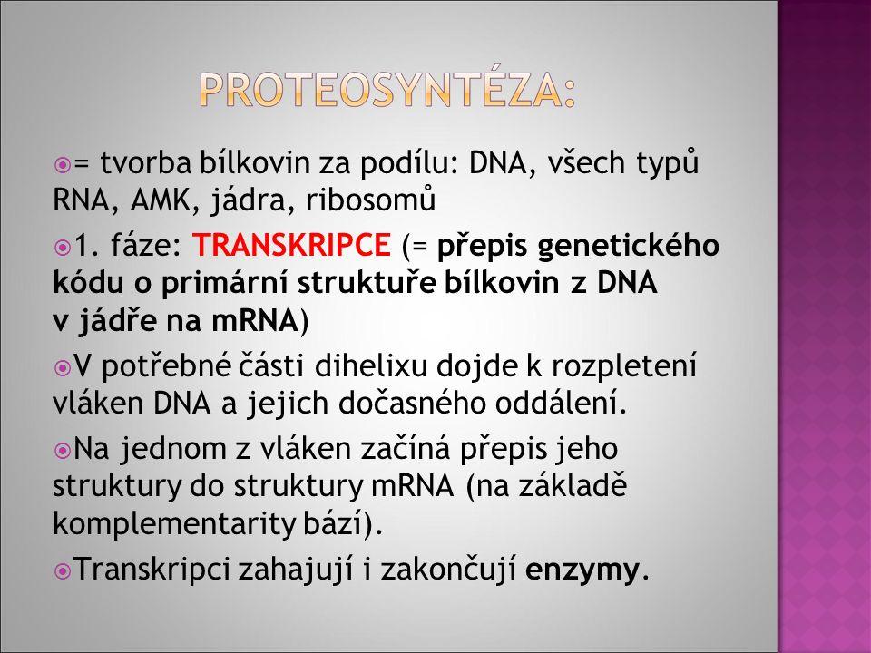  = tvorba bílkovin za podílu: DNA, všech typů RNA, AMK, jádra, ribosomů  1.