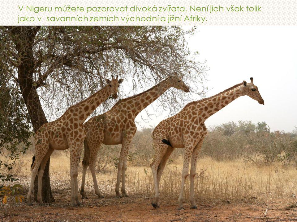 V Nigeru můžete pozorovat divoká zvířata.