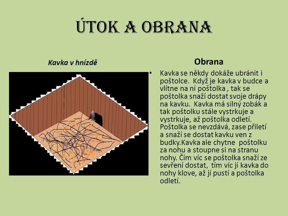 Útok a obrana Kavka v hnízdě Obrana Kavka se někdy dokáže ubránit i poštolce.