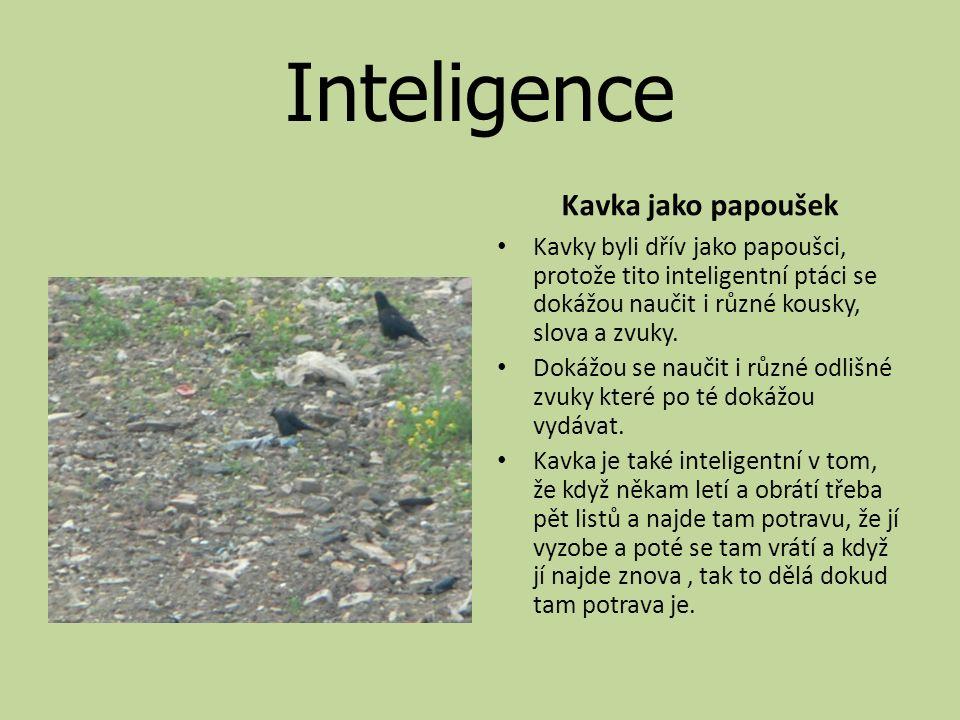 Inteligence Kavka jako papoušek Kavky byli dřív jako papoušci, protože tito inteligentní ptáci se dokážou naučit i různé kousky, slova a zvuky.