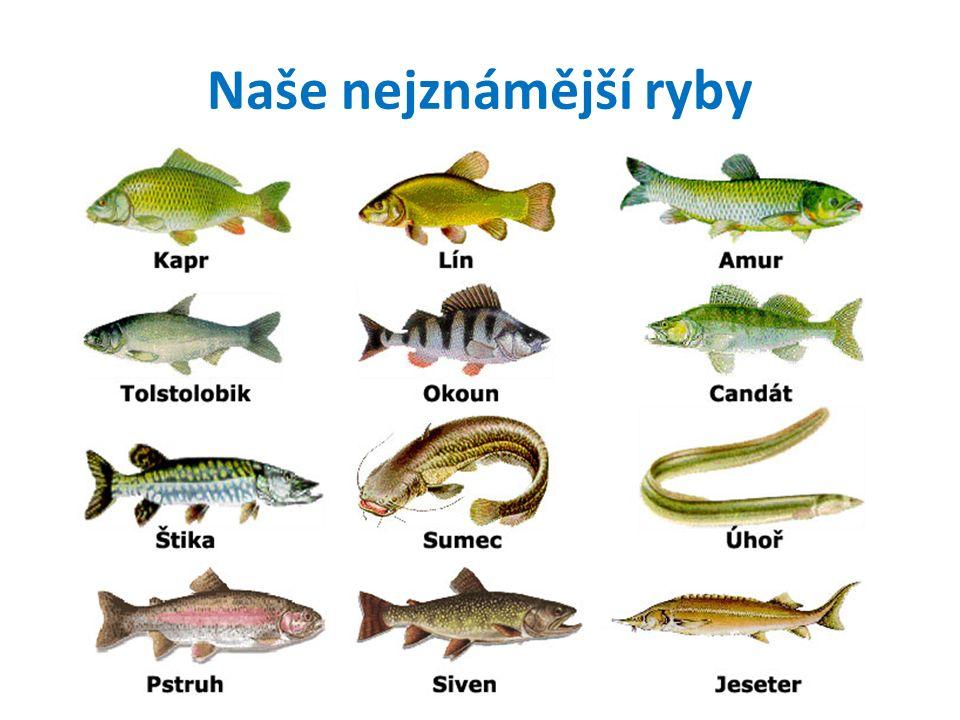 Ryby mají tělo přizpůsobené životu ve vodě plovací měchýř ploutev skřele žábry kůže je hladká, pokrytá šupinami a slizem tělesná teplota se přizpůsobuje prostředí
