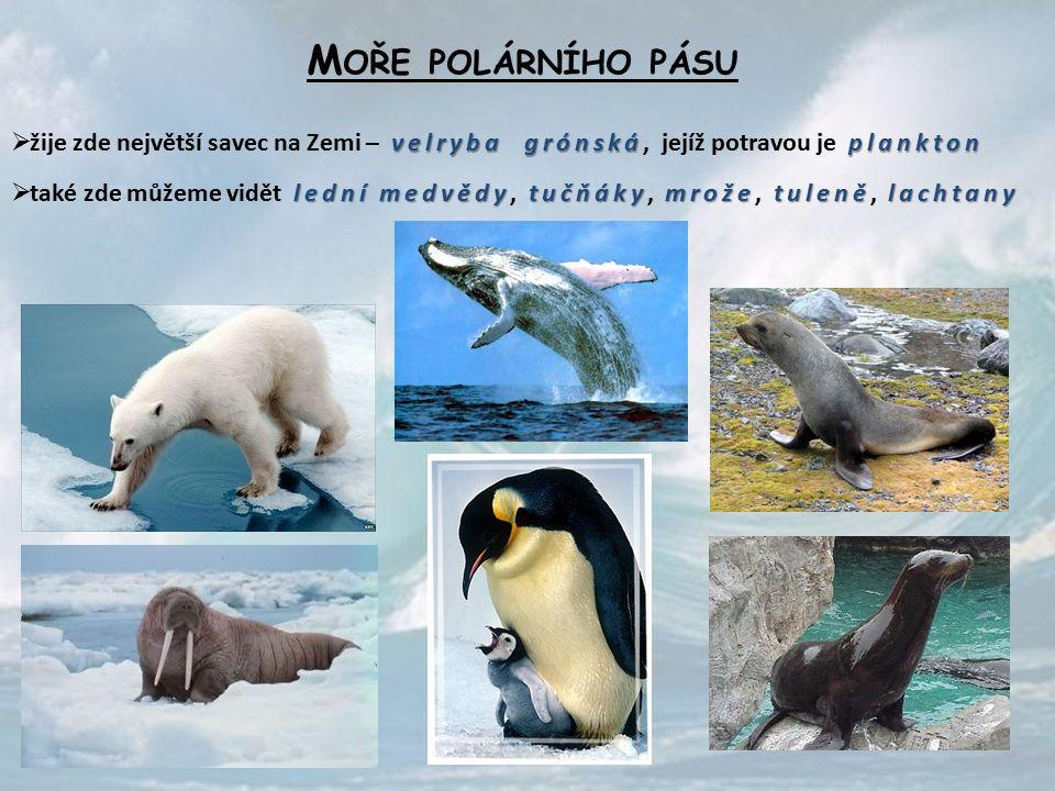 M OŘE POLÁRNÍHO PÁSU velryba grónskáplankton  žije zde největší savec na Zemi – velryba grónská, jejíž potravou je plankton lední medvědytučňákymrožetulenělachtany  také zde můžeme vidět lední medvědy, tučňáky, mrože, tuleně, lachtany