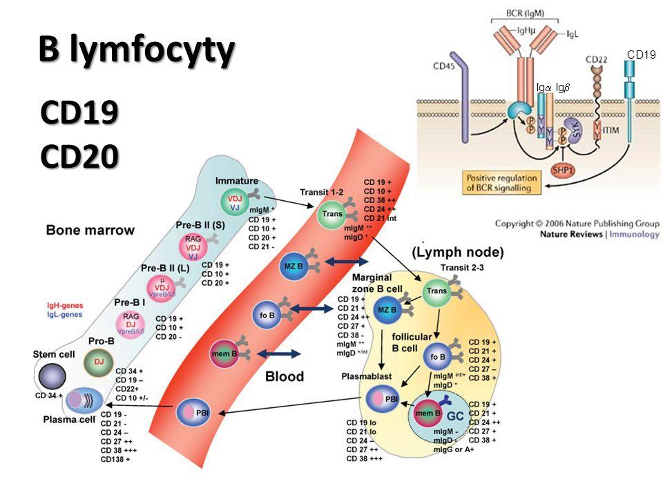 B lymfocyty CD19CD20 CD19 Ig  Ig 