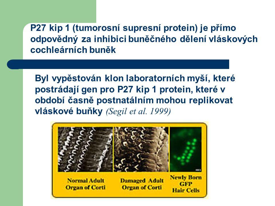 P27 kip 1 (tumorosní supresní protein) je přímo odpovědný za inhibici buněčného dělení vláskových cochleárních buněk Byl vypěstován klon laboratorních myší, které postrádají gen pro P27 kip 1 protein, které v období časně postnatálním mohou replikovat vláskové buňky (Segil et al.