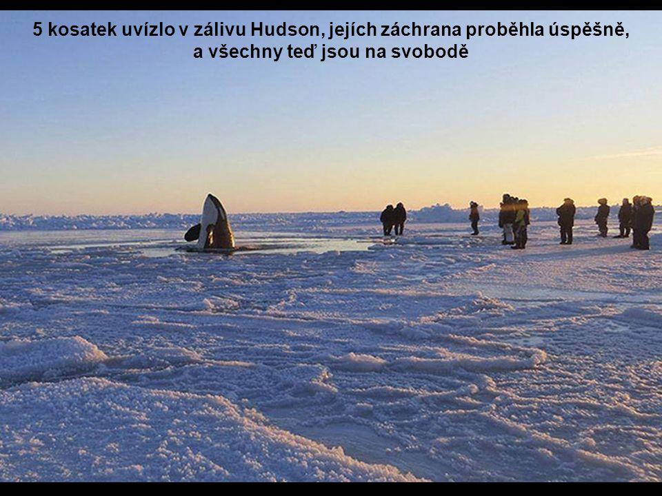 5 kosatek uvízlo v zálivu Hudson, jejích záchrana proběhla úspěšně, a všechny teď jsou na svobodě