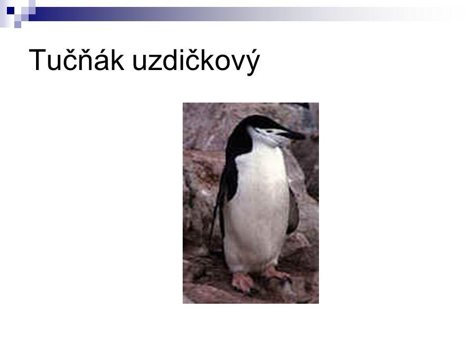 Tučňák uzdičkový