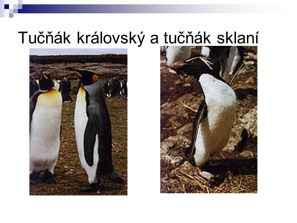 Tučňák královský a tučňák sklaní