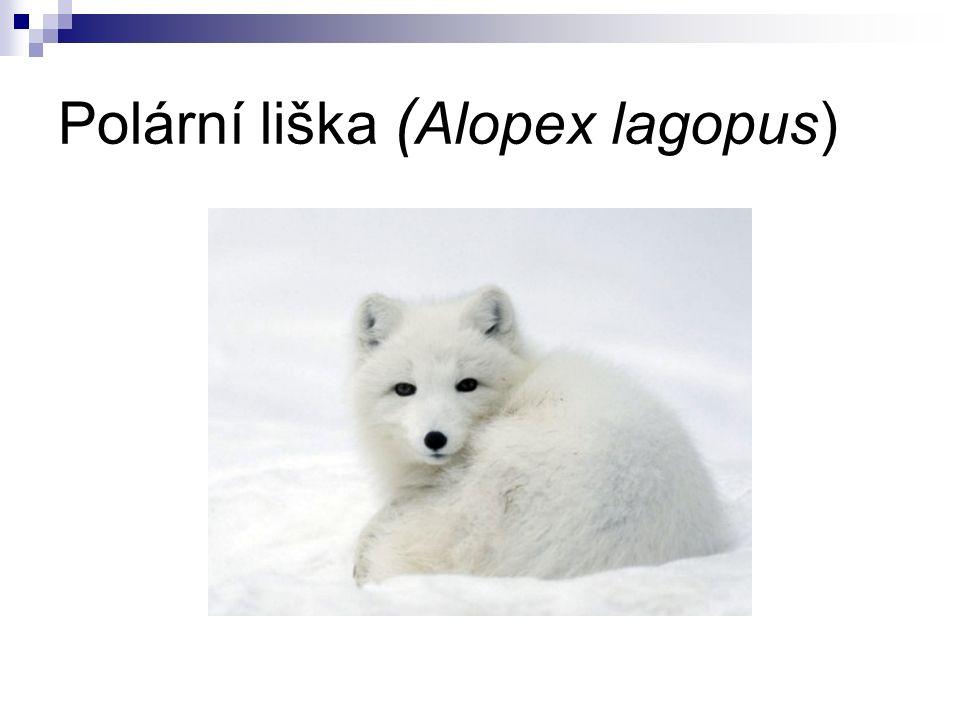 Polární liška ( Alopex lagopus)