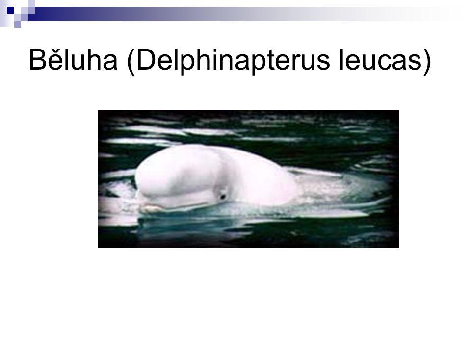 Běluha (Delphinapterus leucas)